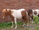 广州长隆羊驼出租迷你羊驼展览矮马