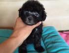 养殖场出售纯种泰迪犬 茶杯犬泰迪熊幼犬健康活泼