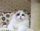 家庭猫舍出售布偶猫 双色布偶重点色都有可现场视频