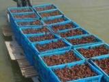 湖北小龙虾养殖繁育基地 小龙虾养殖 小龙虾种苗