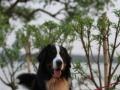 伯恩山犬种公对外借配个人家养高品质高端配种