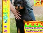 买罗威那幼犬、三年联保终身售后、京津冀可送货上门