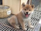 北京出售赛级双血统柴犬赛级日本柴犬幼犬正宗日系柴犬保纯 保健