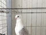 观赏鸽子淑女