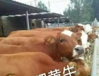 大型养殖场出售;西门塔尔牛 肉牛犊 改良肉牛犊