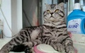 转让纯种折耳公+美短母一对,母猫发情以配上。