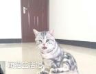 山西太原萌猫生活馆--专业繁育美短虎斑、英短蓝猫、