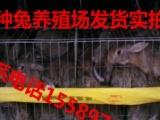 甘肃肉兔种兔价格肉兔养殖场