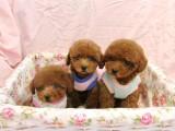北京出售 纯种泰迪幼犬 疫苗齐全出售中 可签协议健康保障