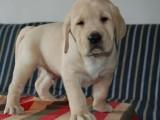 纯种导盲犬拉布拉多犬 聪明温顺 多只可选