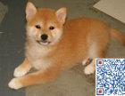 柴犬多少钱 哪里有卖纯种日本柴犬的 哪里可以买到柴犬