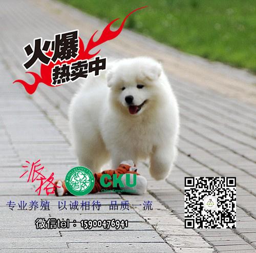 自己繁殖的熊版萨摩耶 保养活 同城可以免费送货