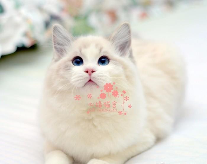 韶关哪里有卖纯种布偶猫呢?韶关布偶猫一只多少钱呢