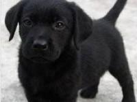西安出售赛级双血统拉布拉多纯种拉拉导盲犬神犬小包纯种包健康