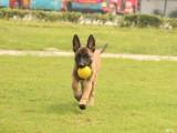 马犬多少钱一只,哪里出售科目马犬,马犬训练方法