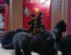 自家繁衍纯种暹罗猫价格可议