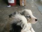 2个月的陨石边境牧羊犬1800元(公母均有)
