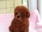 出售茶杯泰迪幼犬,超小卡哇伊泰迪犬,包纯种包身体
