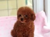 价格可优惠转家养纯种玩具体苹果脸棕红色的泰迪宝宝