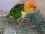 出售凱克鸚鵡 金剛鸚鵡 葵花鸚鵡 灰鸚鵡 折衷鸚鵡大緋胸鸚鵡