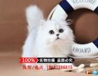 猫舍出售纯种金吉拉猫 宠物猫 全国空运发货