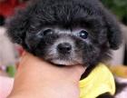 本地出售韩系娃娃脸泰迪犬 呆萌可爱 毛色毛量十足