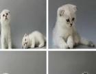 西南《欢享家宠物》包健康,实地看猫美短英短蓝猫蓝白