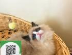 烟台在哪里卖健康纯种宠物猫 烟台哪里出售布偶猫