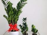 金钱树绿植花卉盆景-苏州花卉绿植盆景苗圃养殖基地销售配送