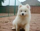 犬舍出售 纯血统萨摩耶犬 保证健康纯种 还送狗用品