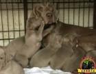 贵族犬业纯种威玛猎犬 德国引进 疫苗做齐 疫苗证书齐