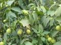 出租葡萄树和核桃树的土地