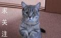 可爱银渐层短毛猫找新家