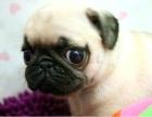精品巴哥幼犬,支持上门看狗狗,包健康纯种可协议