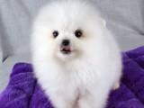 哈多利博美幼犬 纯正血统 品质有保障全国发货
