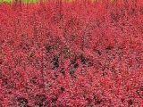 哪里有草花苗木基地 供应山东有品质的红叶小檗