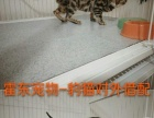 霍东宠物猫,借配,出售,回收幼崽。