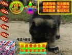 在哪里买纯种的高加索幼犬 高加索幼犬最低多少钱