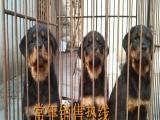 罗威纳犬养殖基地供应优质罗威纳的养殖场罗威纳报价