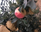 爱刚采摘园富士苹果
