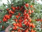大量出售各种规格的红枸杞,黑枸杞。
