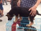犬舍繁殖出售纯种德牧幼犬锤系德牧犬德国牧羊犬出售