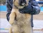 俄罗斯高加索幼犬便宜出售,诚心想养的联系我