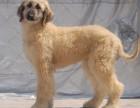 上海哪里有阿富汗猎犬卖 泰迪金毛哈士奇秋田博美阿拉多少钱价格