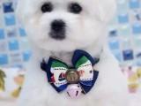 金华哪里有宠物狗卖棉花糖比熊宝宝特价出售啦 超可爱宝宝