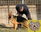 哪里有出售德国牧羊犬 纯种德牧最低多少钱