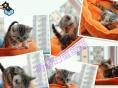 美国短毛猫/纯种/虎斑/标斑