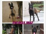 军犬警犬 最可爱的朋友 比利时纯种血统马犬出售