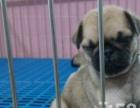 出售纯种巴哥犬 大眼睛 超邹的脸型 欢迎上门选狗