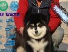 本地最大的阿拉斯加犬舍专业繁殖基地 实物挑选看父母